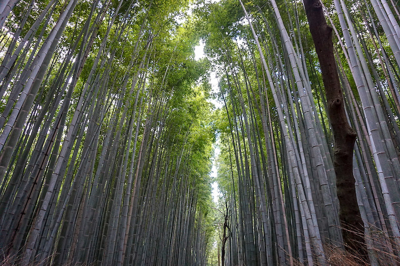 Bamboo forest Kyoto image