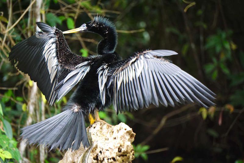 Costa Rica Tortuguero bird image