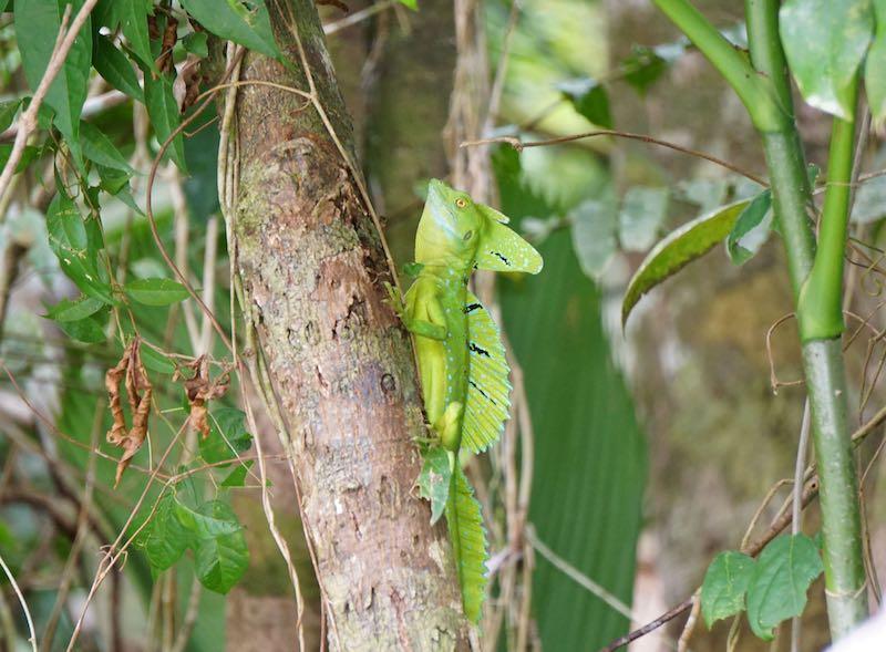 Costa Rica Tortuguero lizard image