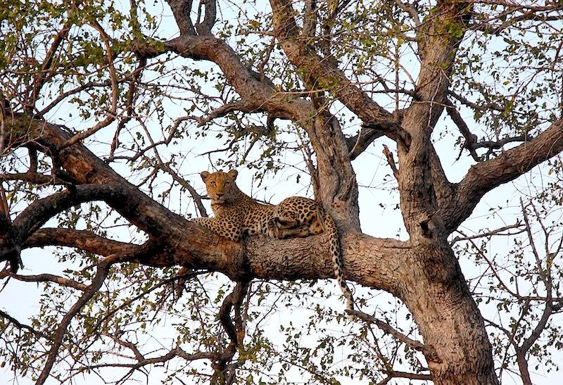 Singita Lebombo leopard image
