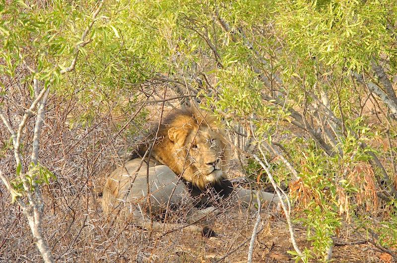 Singita Lebombo lion image