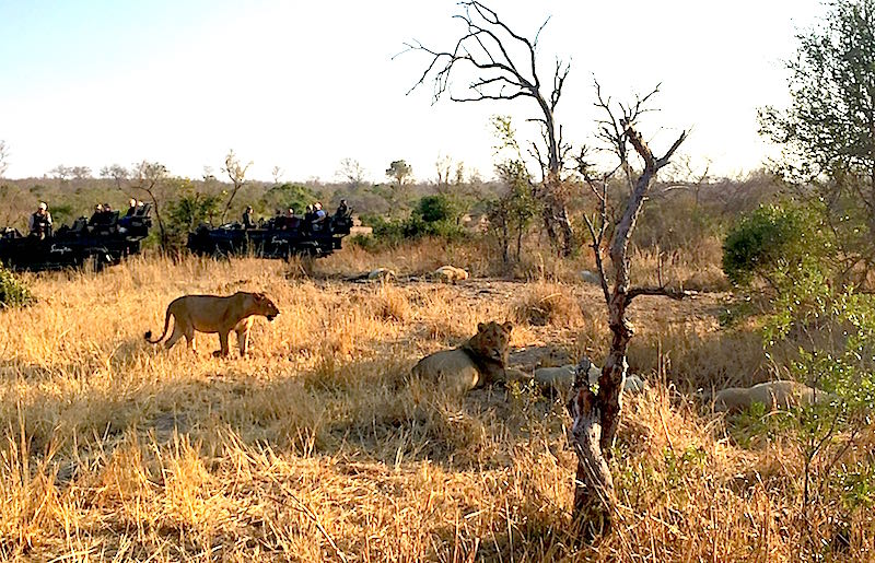 Singita Boulders lions image