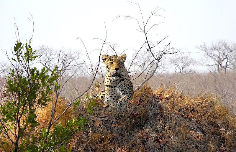 Singita Boulders leopard image