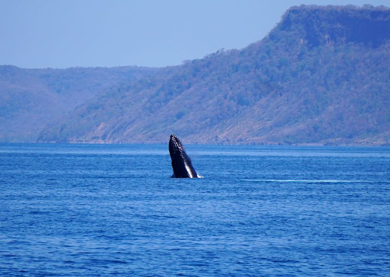 Costa Rica humpback whale photo